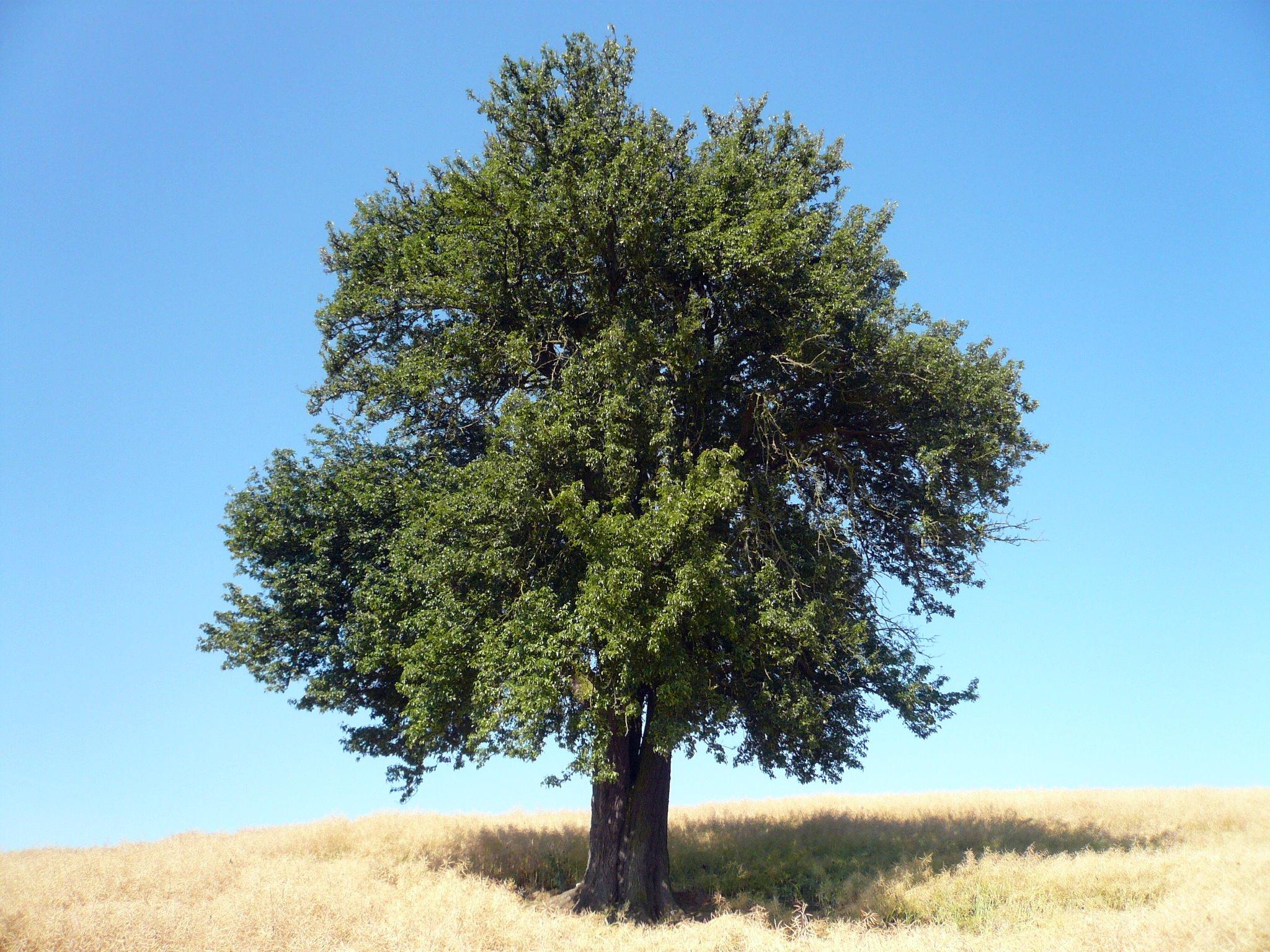 File:Birnbaum am Lerchenberg.jpg - Wikimedia Commons