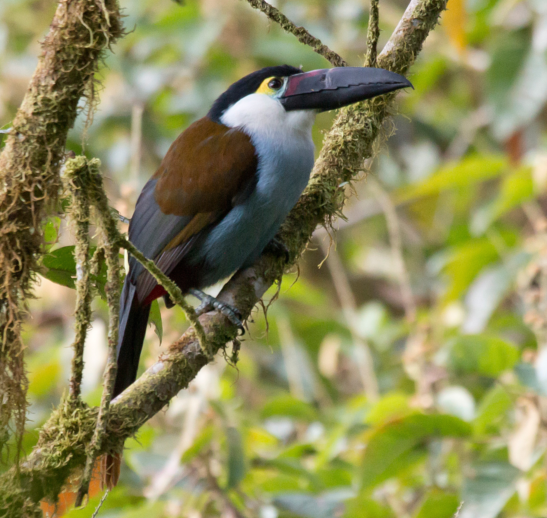 https://upload.wikimedia.org/wikipedia/commons/3/37/Black-billed-Mountain-Toucan.jpg