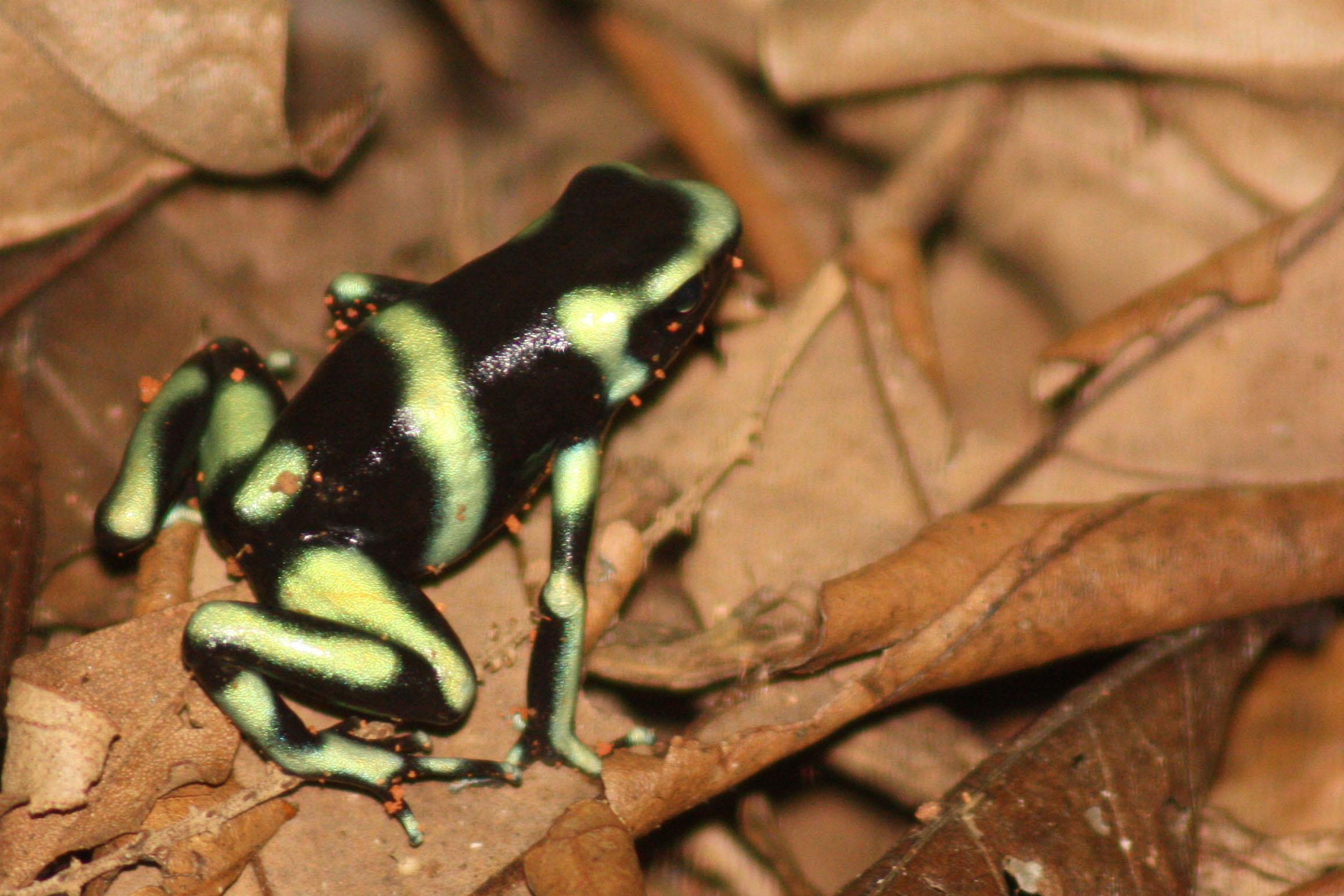 File:Black and green poison dart frog (Dendrobates auratu ...