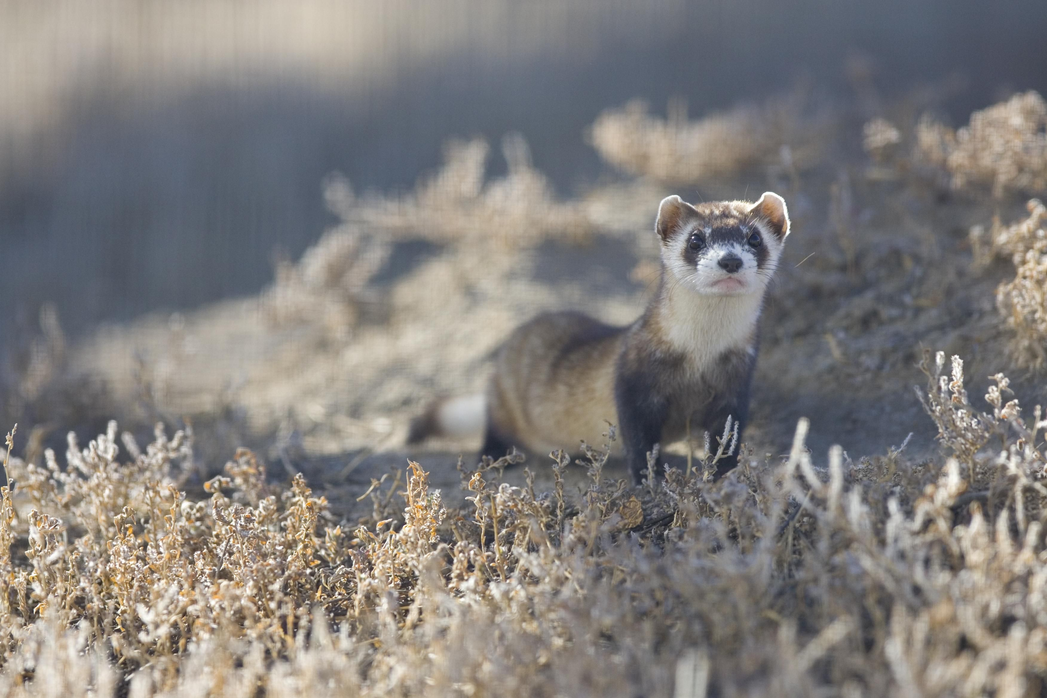 a study of the black footed ferret Cmu graduate student is doing research to help the long-term survivability of  black-footed ferrets.