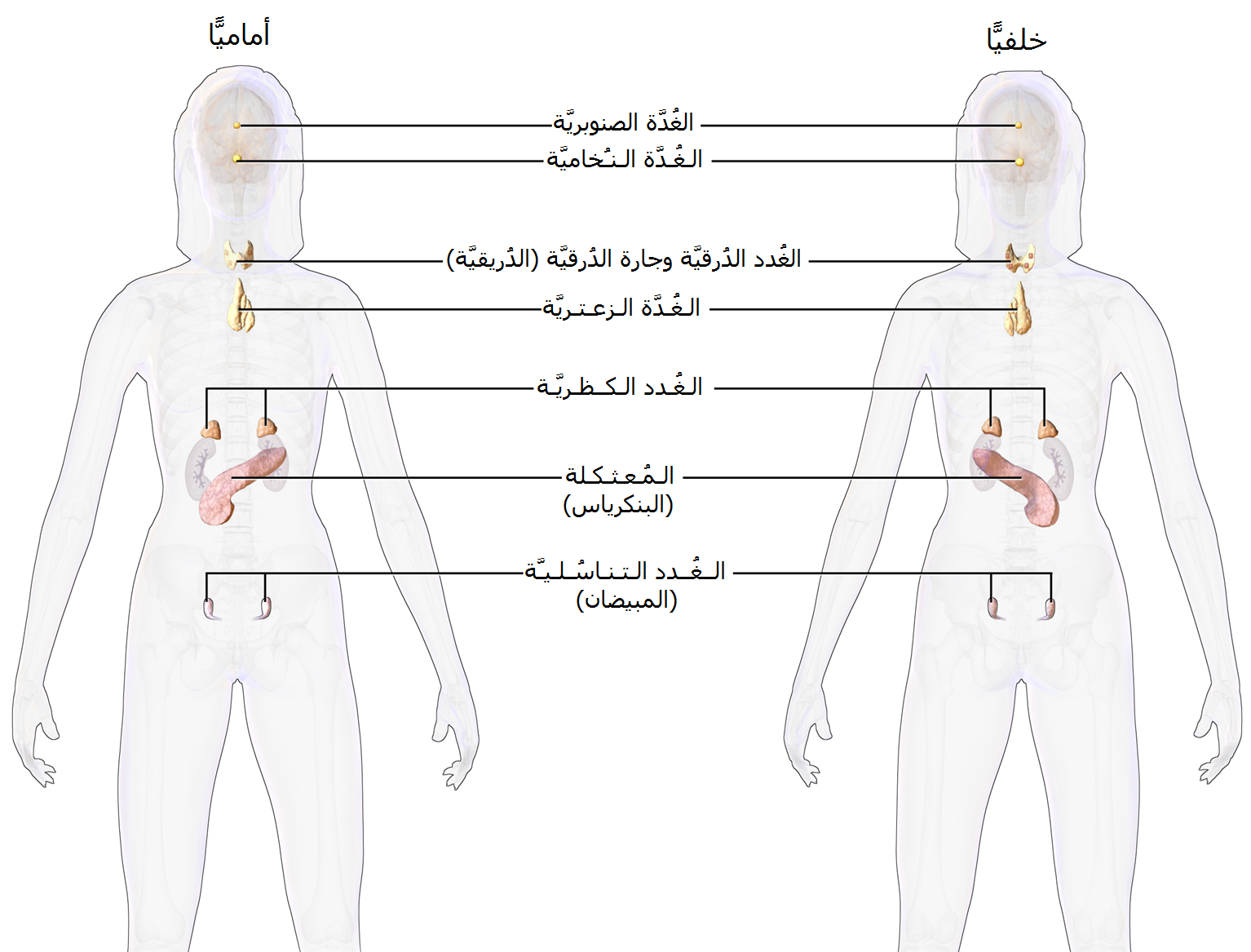 علم الغدد الصم ويكيبيديا