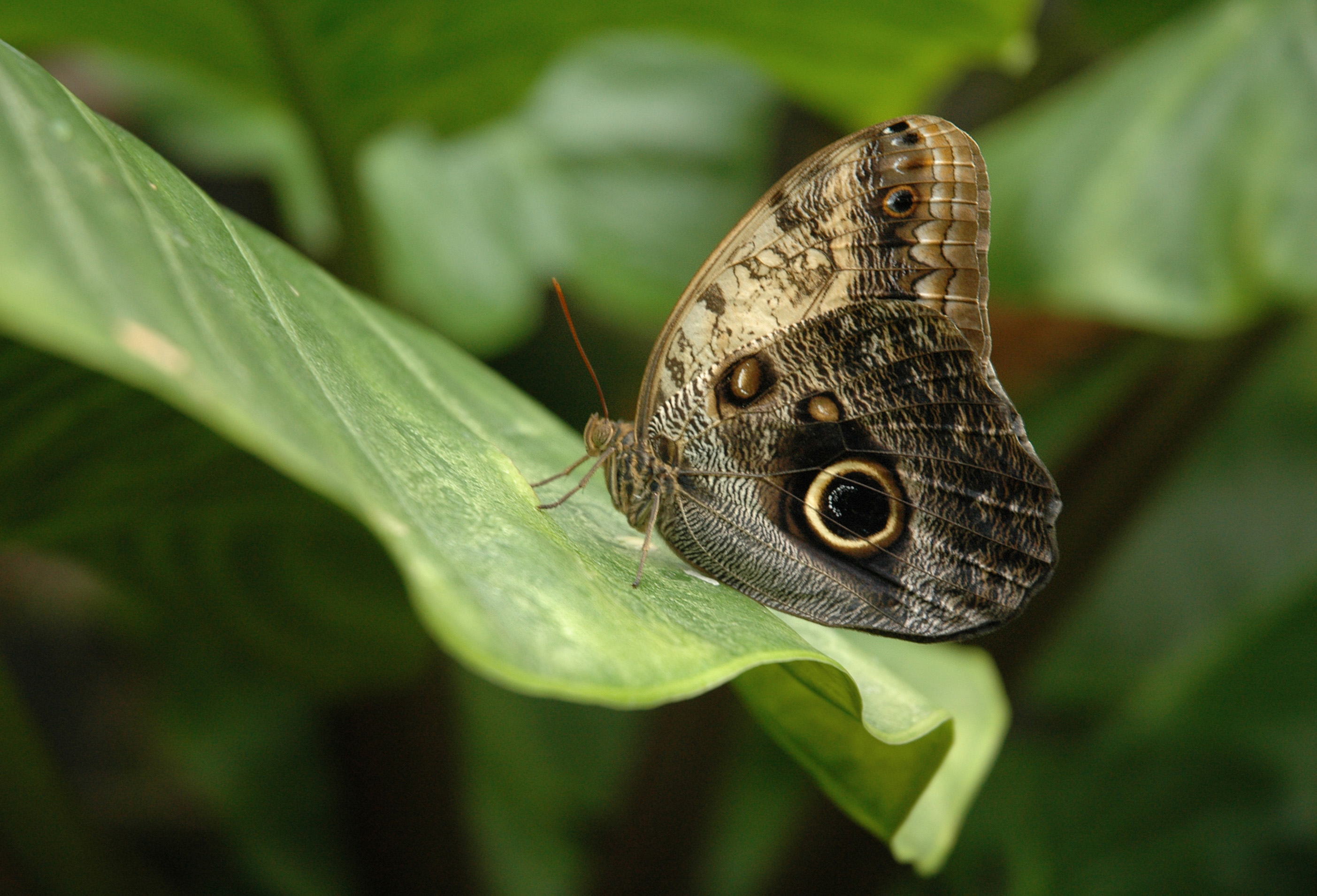 Owl butterfly - photo#20