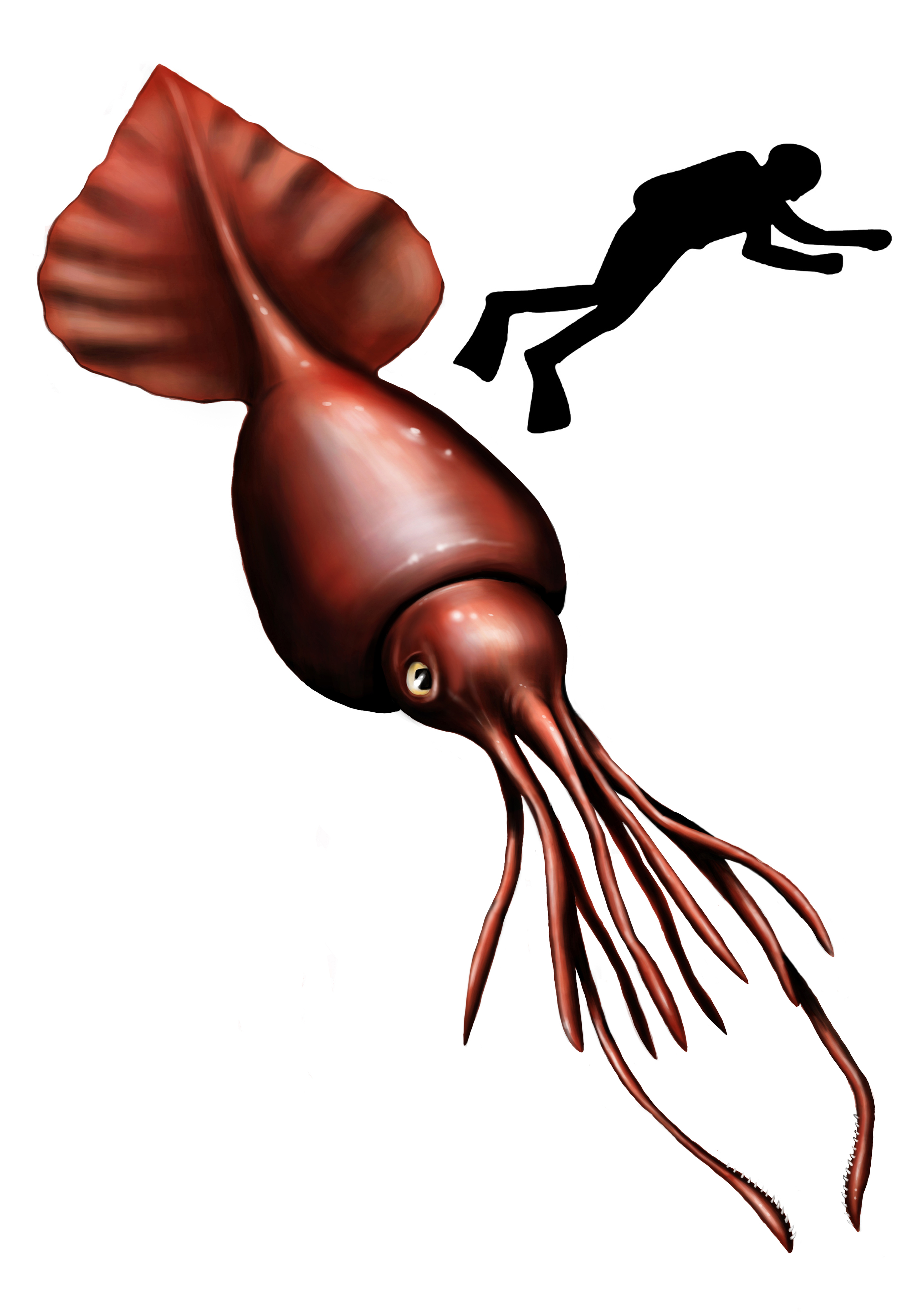giant squid  Wiktionary