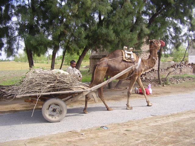 Animals Pulling Wagon : File camel cart g wikipedia