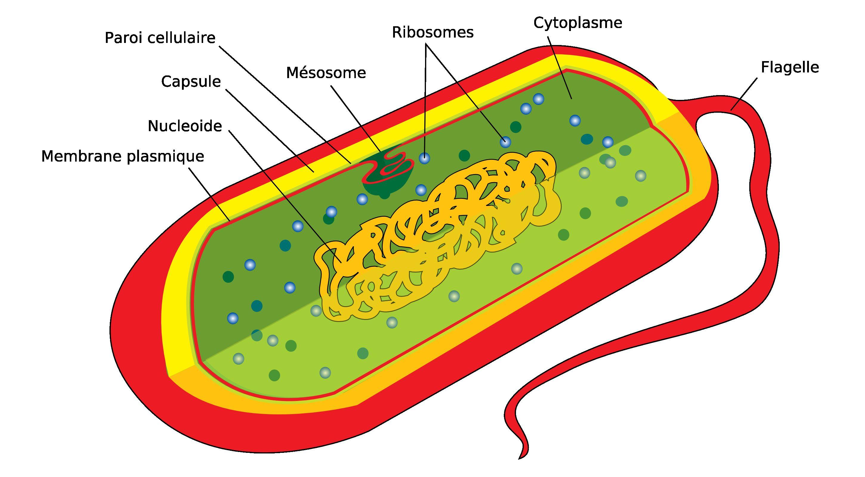 La cannelle aux parasites de lintestin