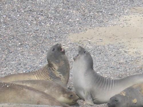 File:Eléphants de mer, péninsule Valdès, Argentine.jpg