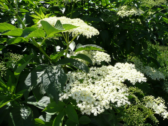 Kvetoucí bez černý (Sambucus nigra)