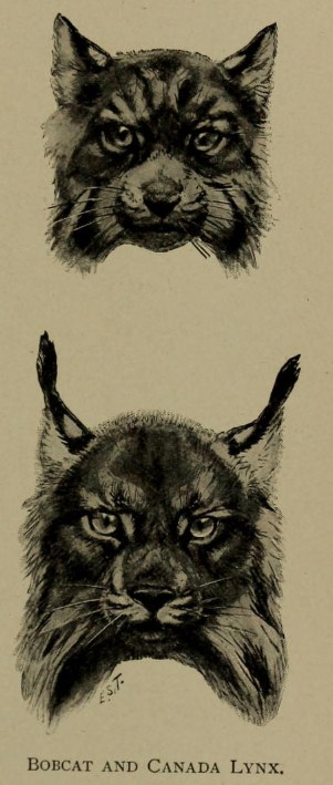 Ernest Ingersoll - lynx rufus %26 lynx canadensis.png