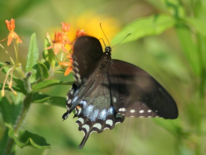 Female Spicebush Swallowtail Megan McCarty07.jpg