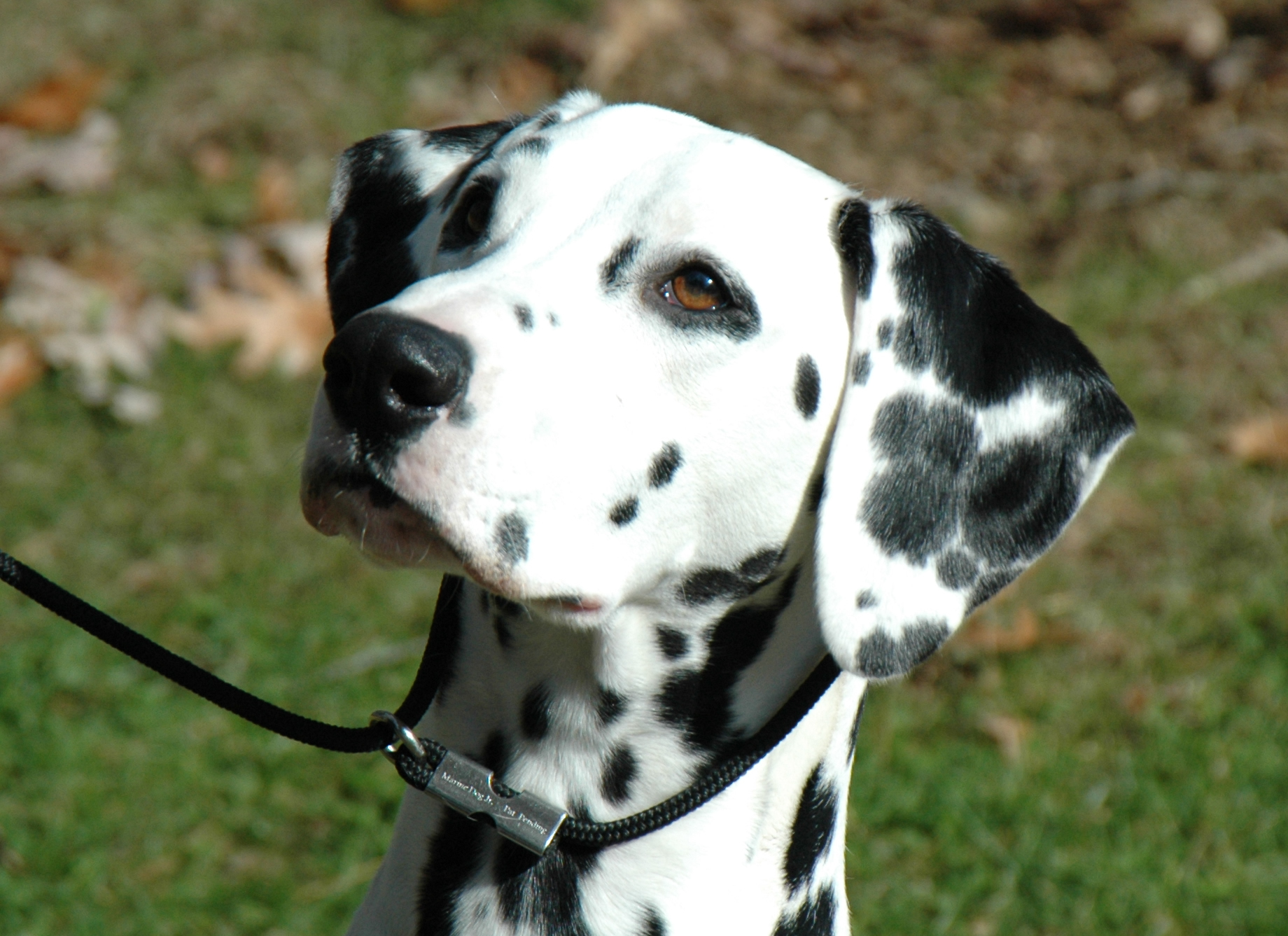 File:Female dalmatian head shot.jpg - Wikimedia Commons
