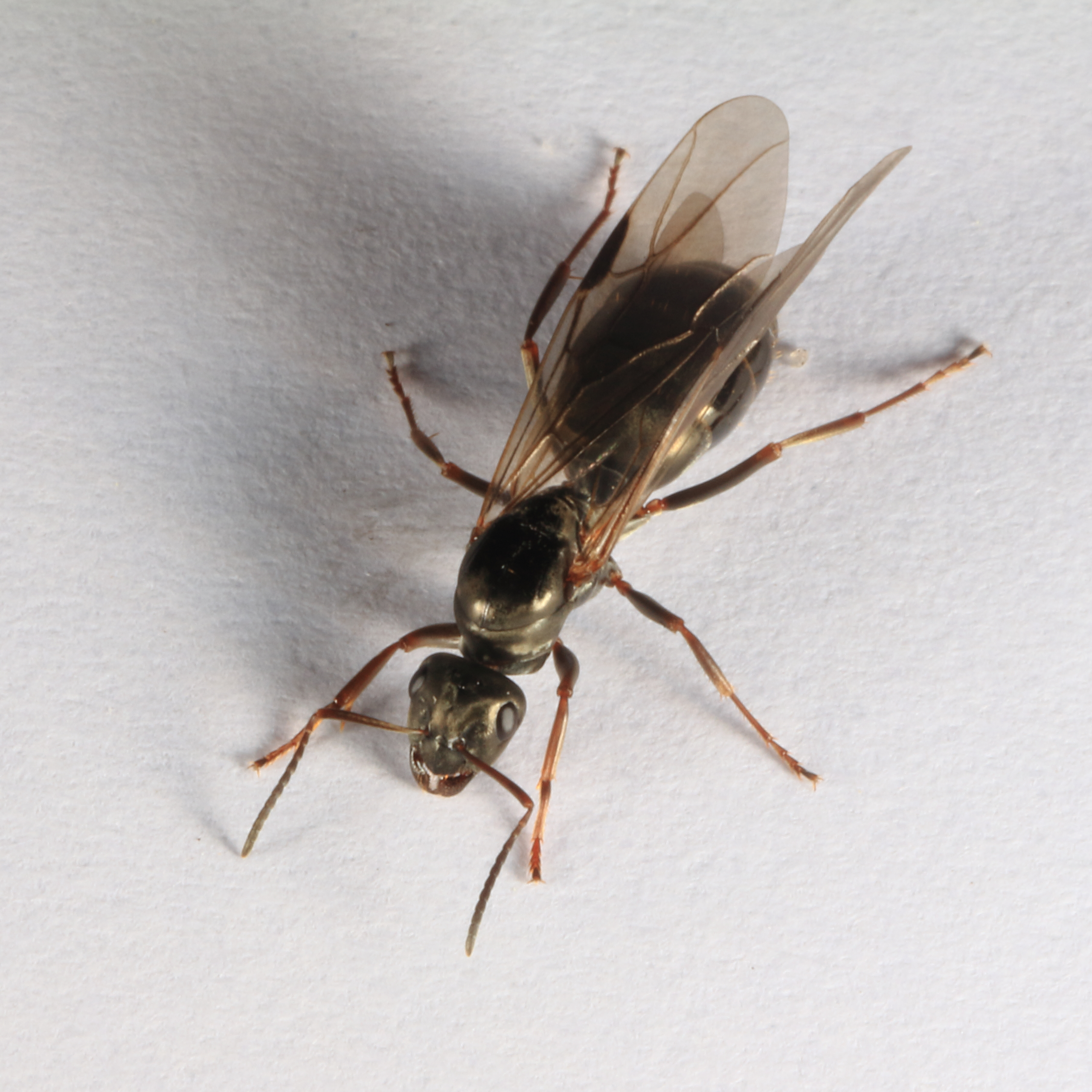 Extrem Datei:Fliegende Ameise 6595.jpg – Wikipedia MB85