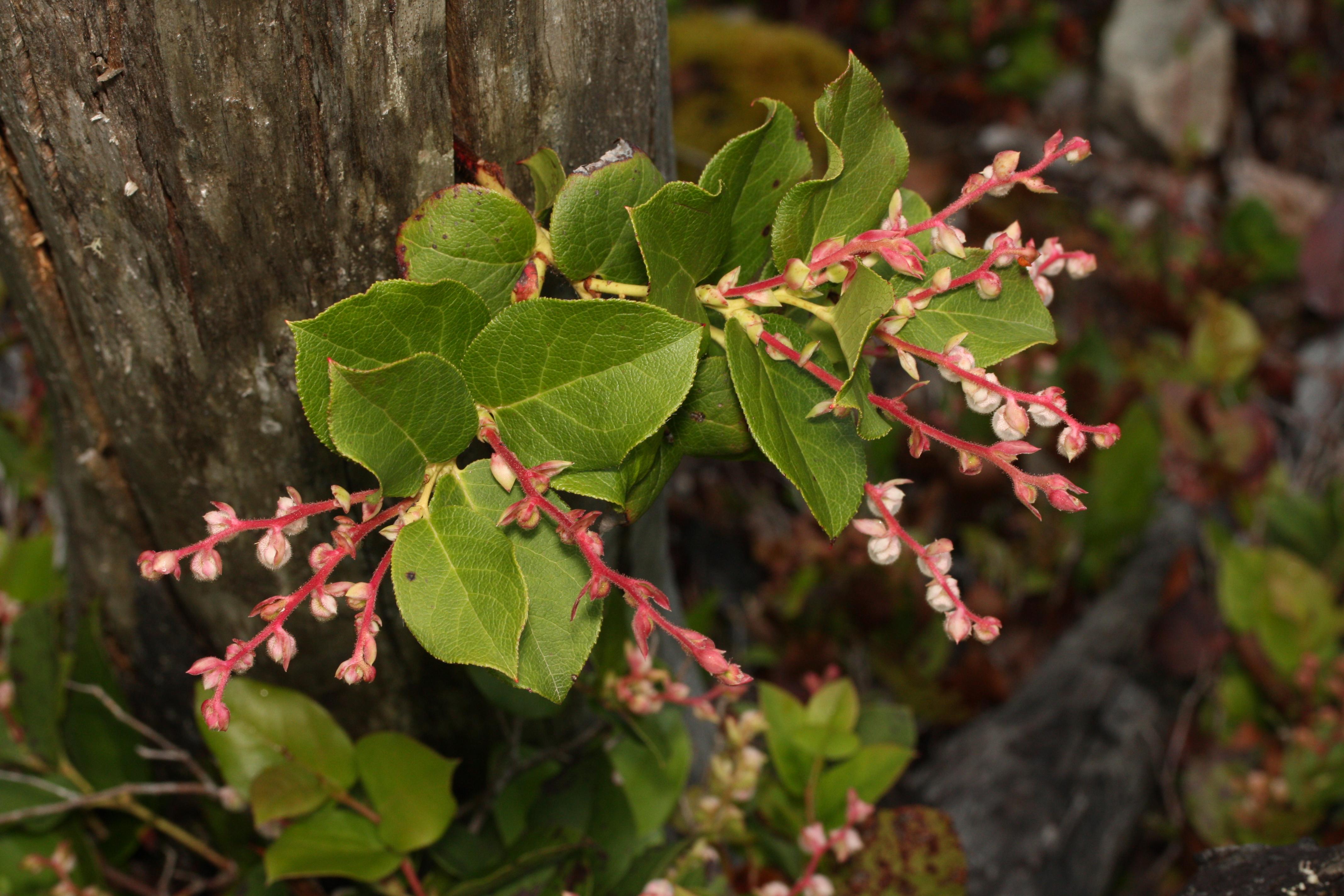 File:Gaultheria shallon 1676.JPG - Wikimedia Commons