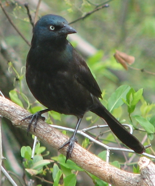http://upload.wikimedia.org/wikipedia/commons/3/37/Grackle.jpg