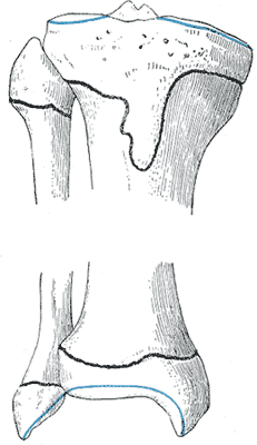 Epiphysial lines of tibia and fibula in a young adult. Anterior aspect. Gray261.png
