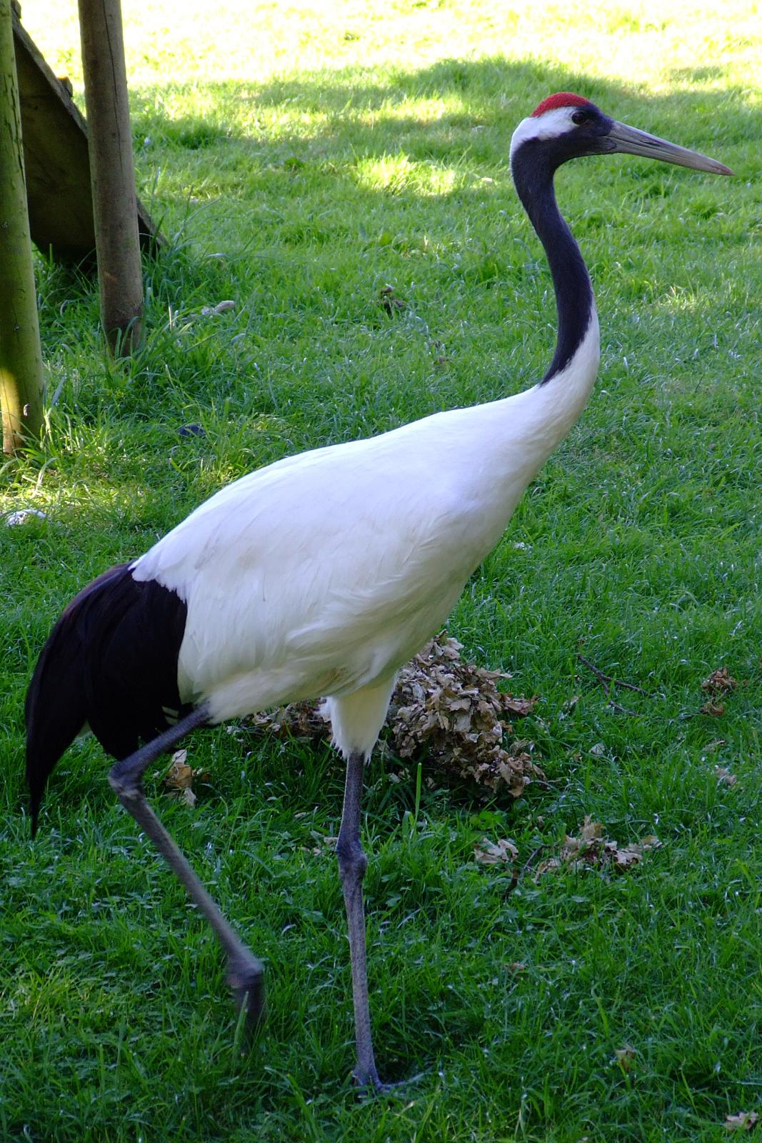 File:Grus japonensis -Marwell Wildlife, Hampshire, England ... - photo#32
