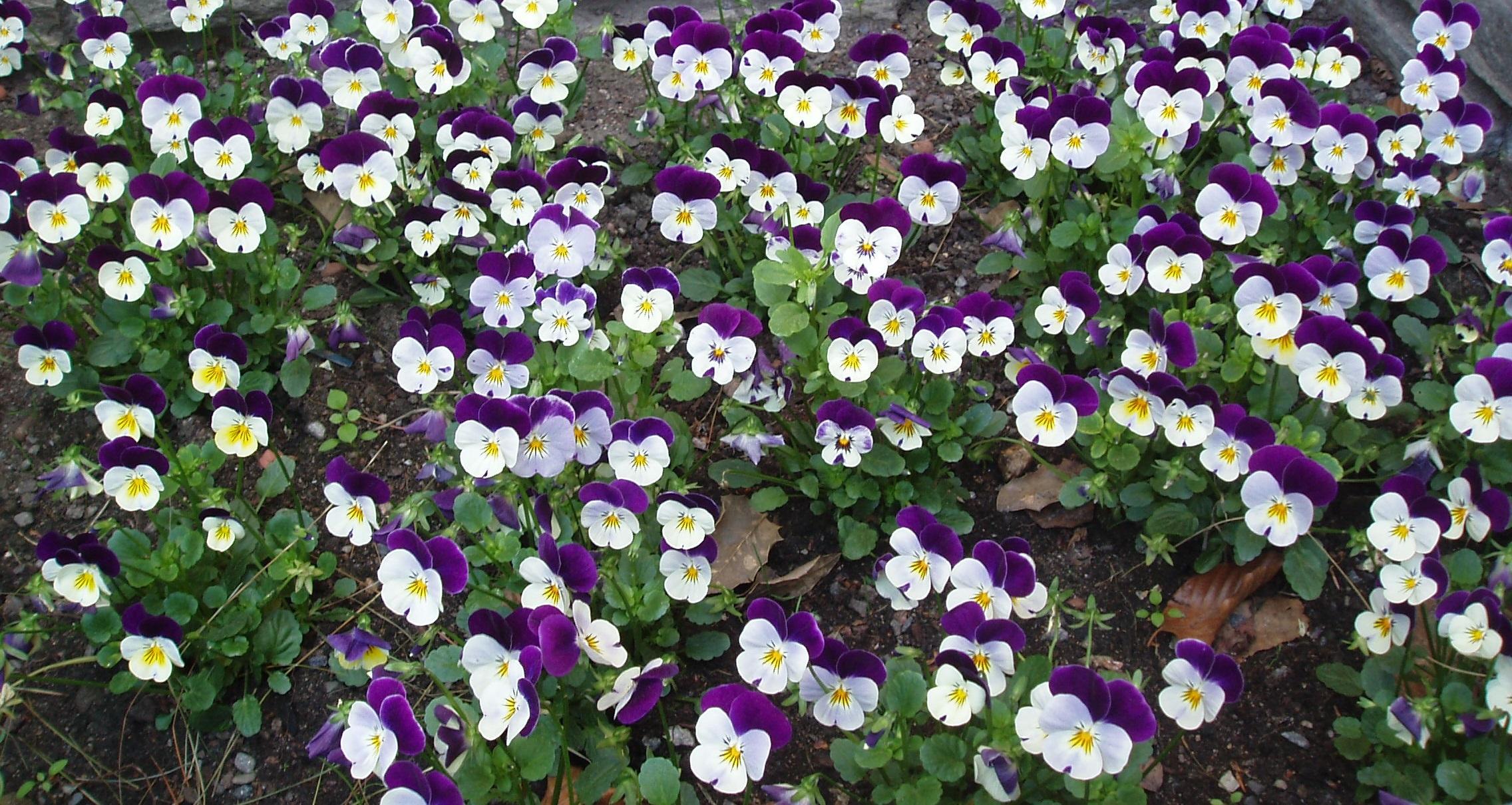 File Heartsease in a Norwegian flower bed Wikimedia mons