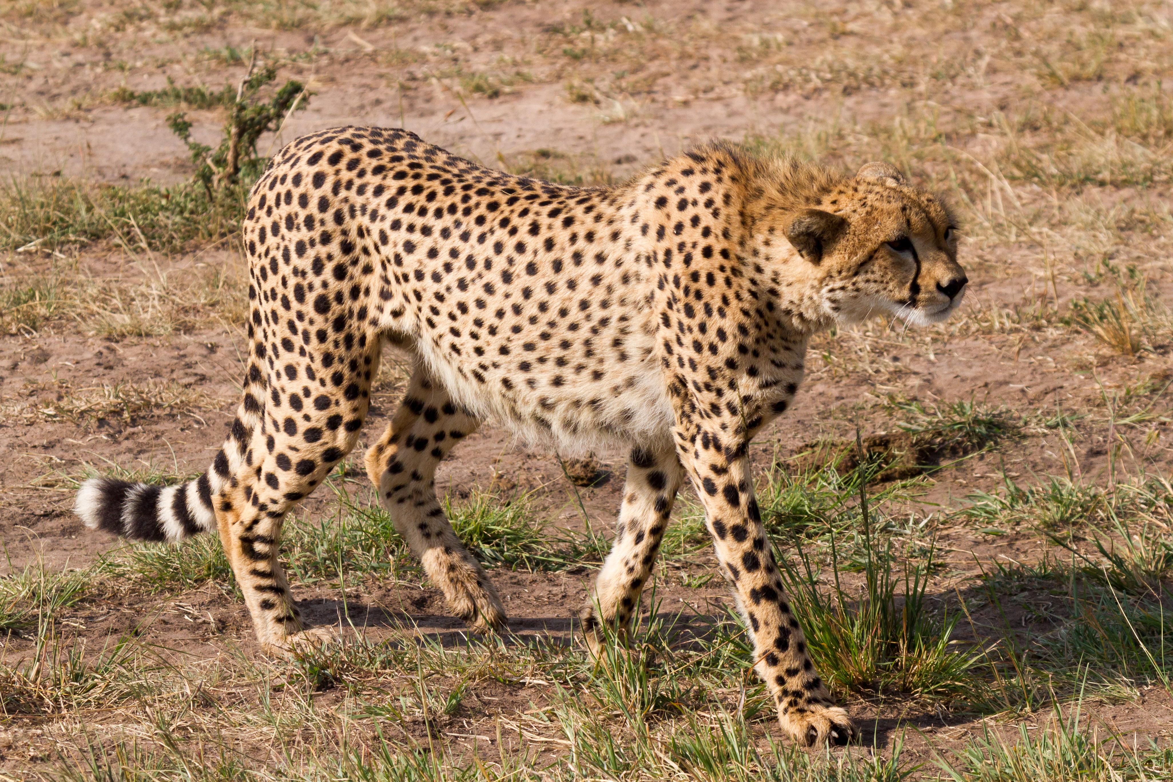 File:Hunting Cheetah.jpg - Wikimedia Commons | 4102 x 2735 jpeg 3483kB