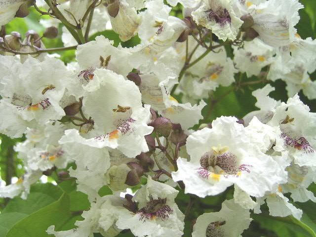 Trompetenbäume – Wikipedia