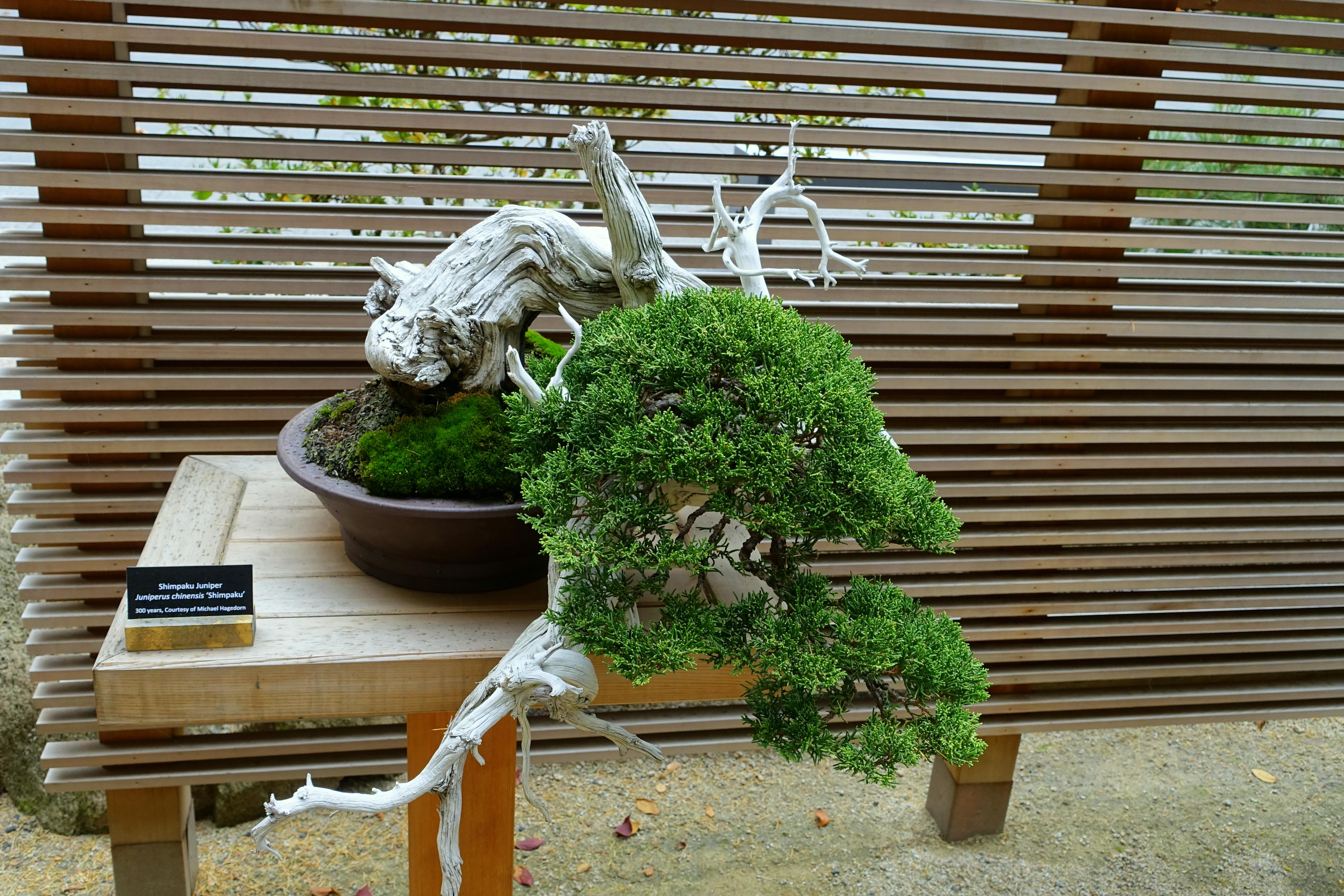 File Juniperus Chinensis Shimpaku Portland Japanese Garden Portland Oregon Dsc08162 Jpg Wikimedia Commons