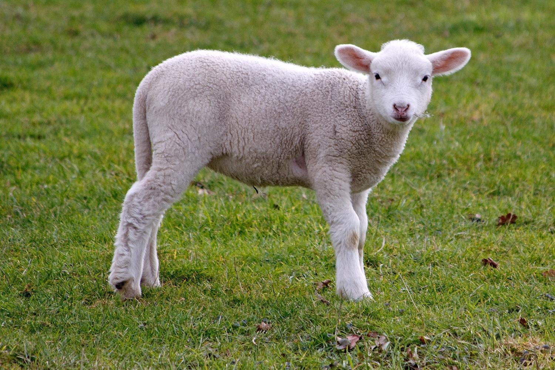 מגניב כבש הבית – ויקיפדיה TB-91