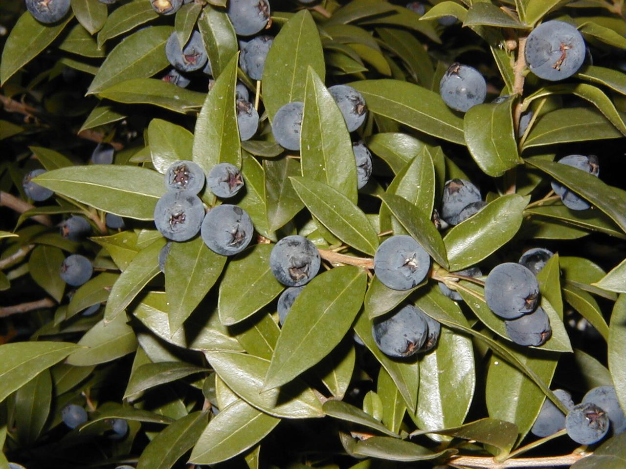 Archivo:Myrtus communis RJB.jpg - Wikipedia, la enciclopedia libre