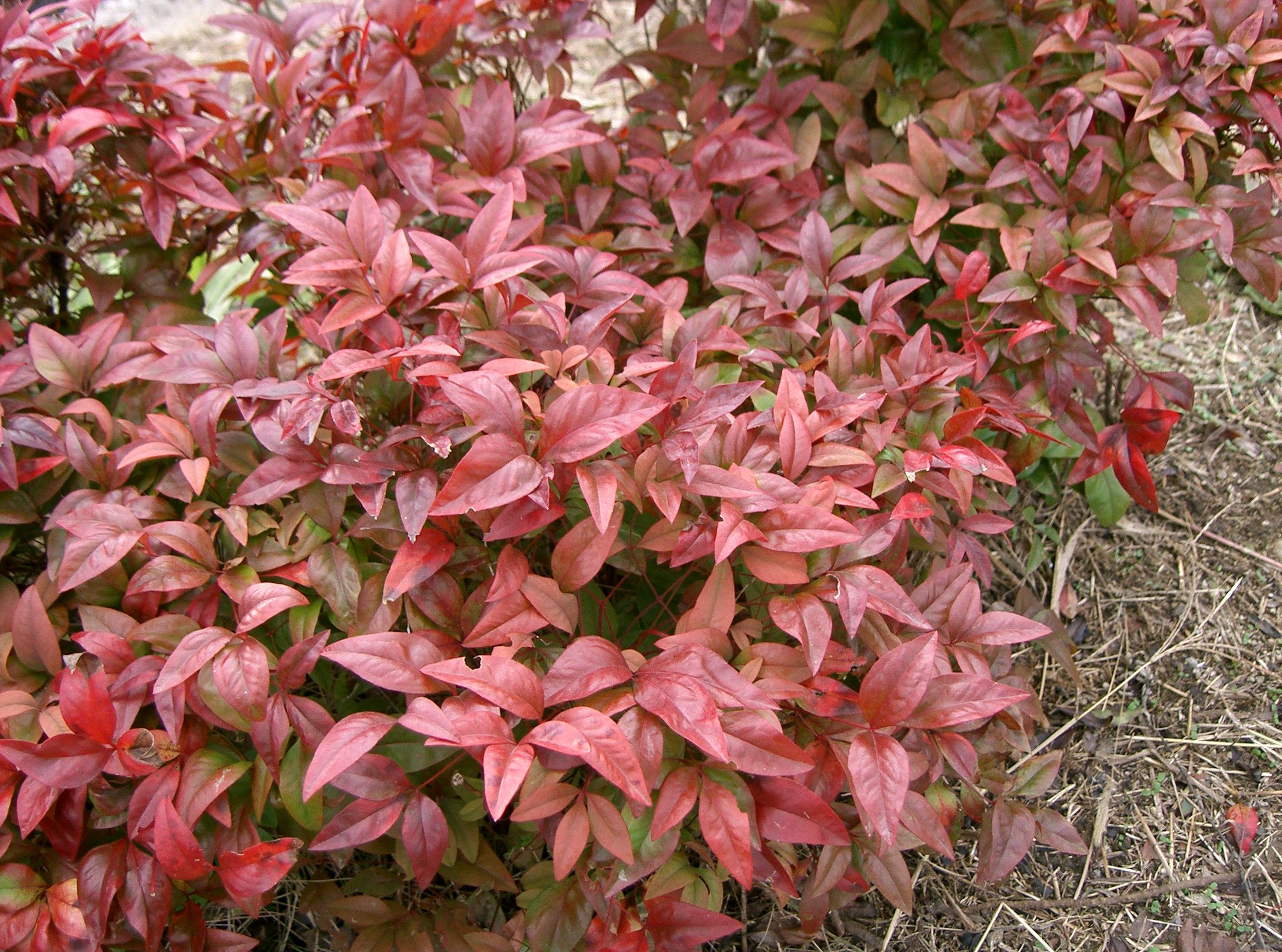 File nandina domestica cv wikimedia for Pianta nandina