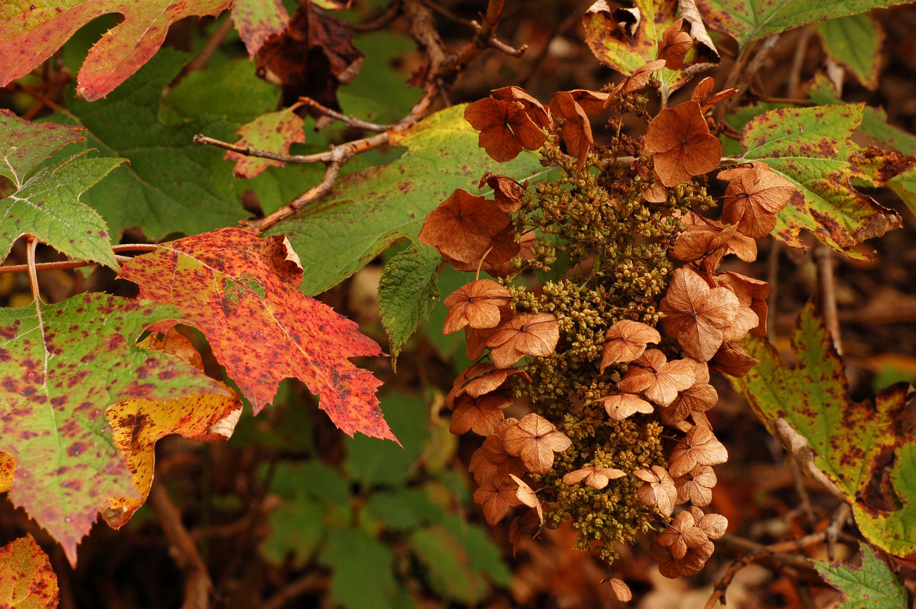 Description Oakleaf Hydrangea Hydrangea quercifolia Fall Colors 3008px    Oakleaf Hydrangea Fall Color