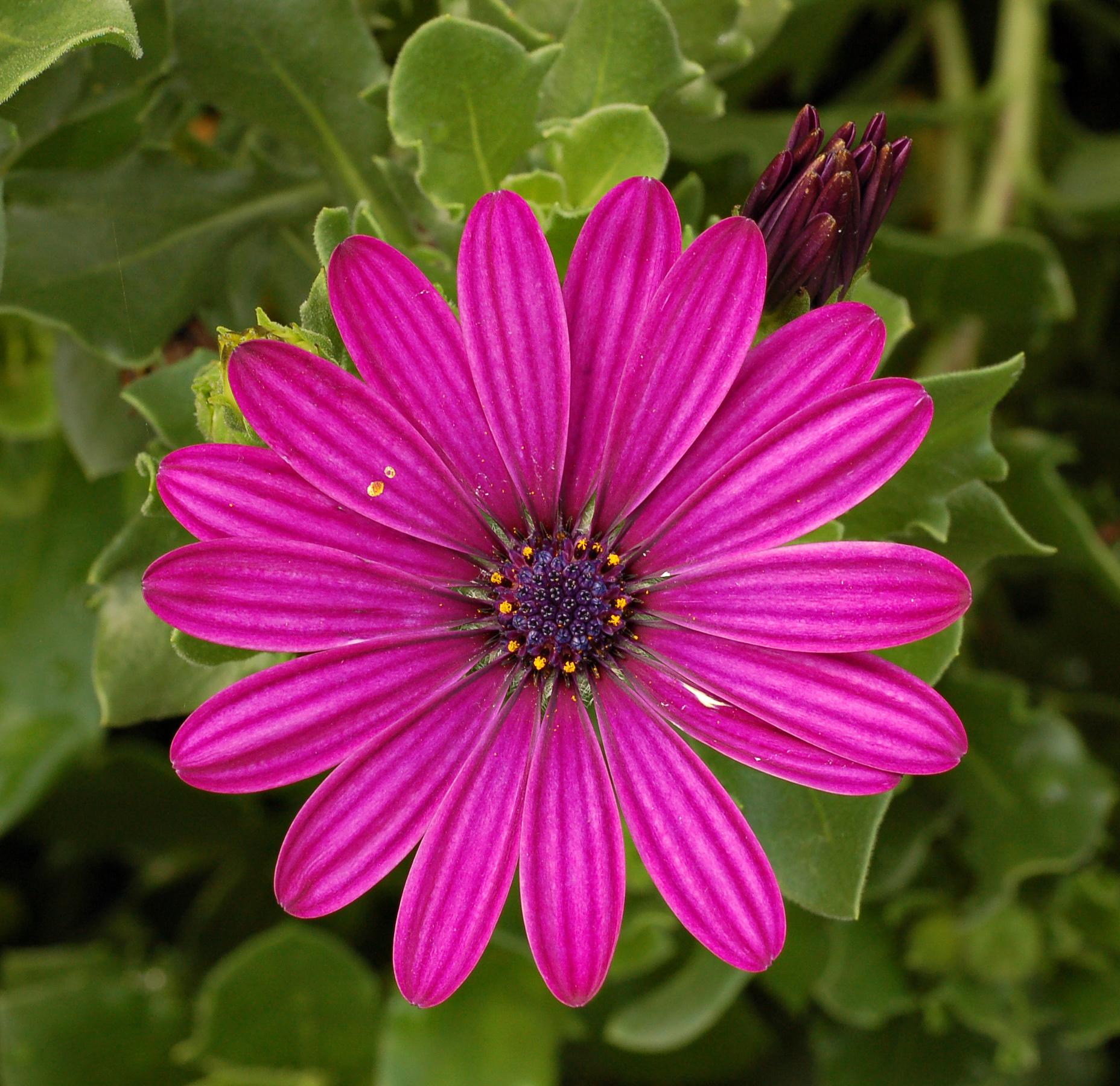 Остеоспермум: выращивание из семян в домашних условиях 53