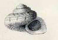 Parminolia apicina 001.jpg