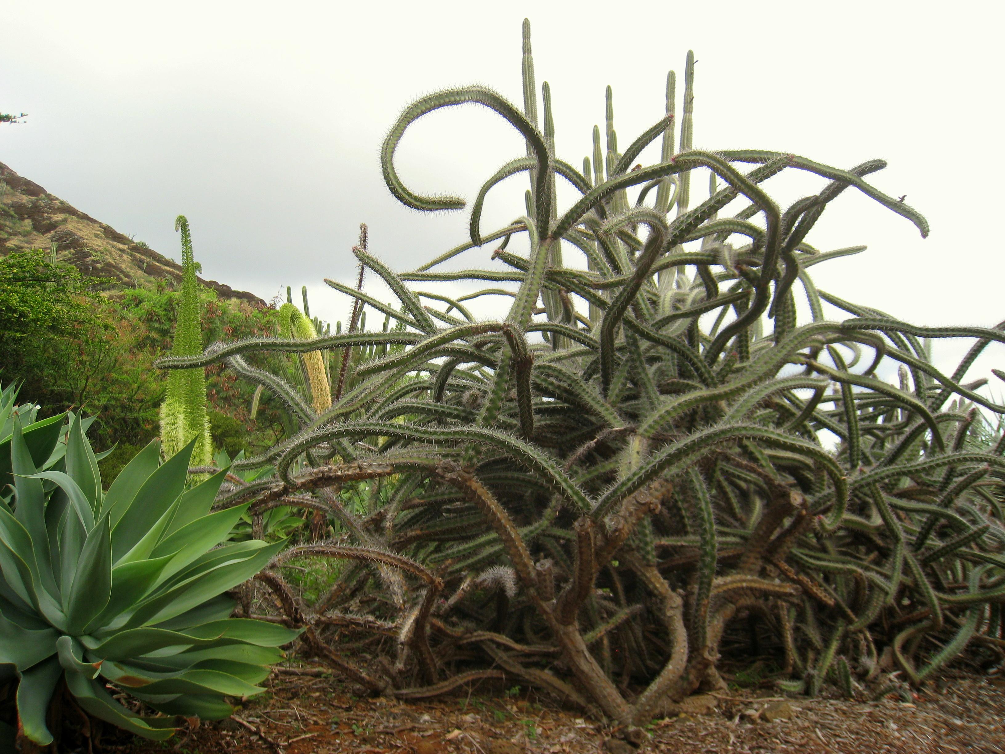 File Rathbunia Alamosensis Koko Crater Botanical Garden Img 2206 Jpg Wikimedia Commons
