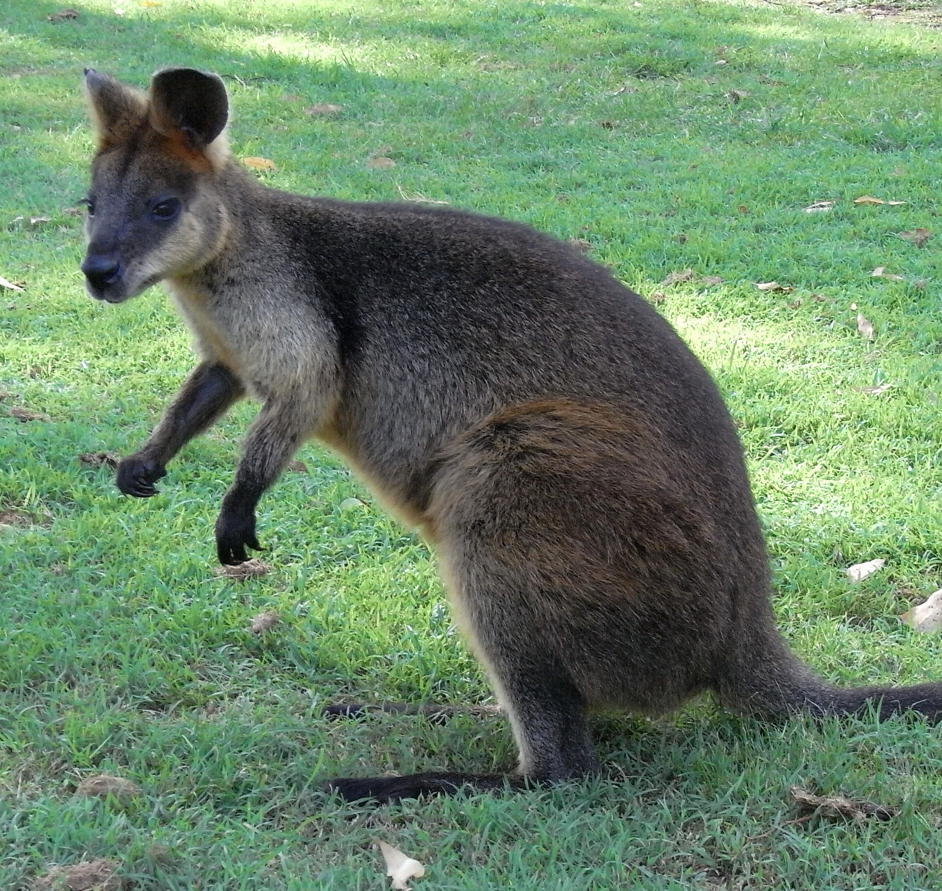 File:Red Necked_Wallaby_Side on Imagenes De Animales Para Colorear