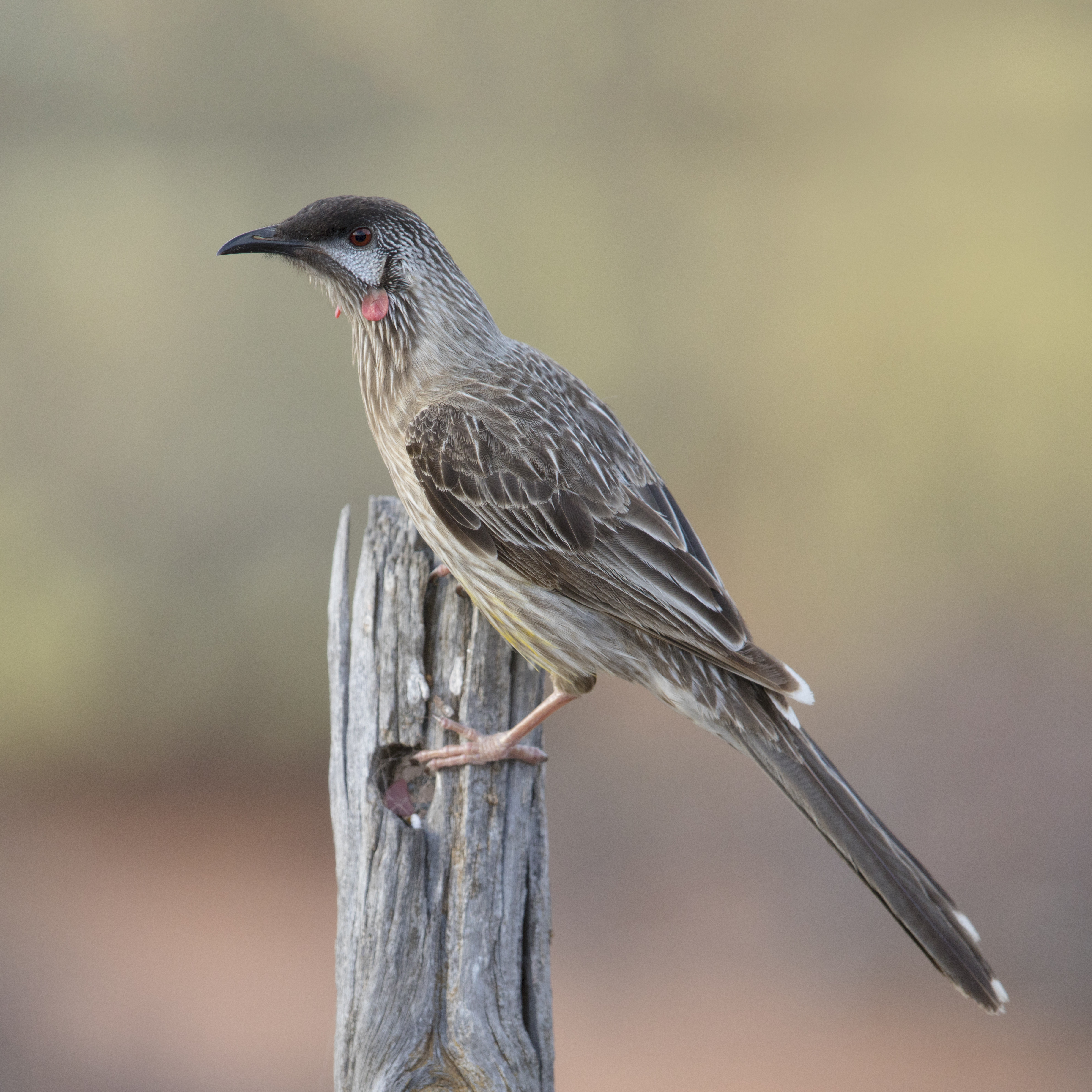 Red wattlebird - Wikipedia