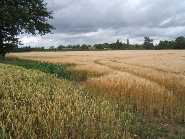Ripening wheat and barley crops - geograph.org.uk - 888795