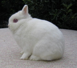 Netherland Dwarf rabbit breed of rabbit