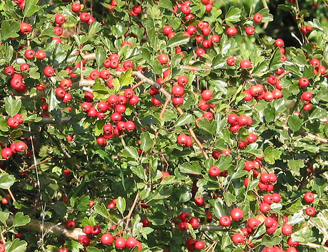 Shiny haws in Bulley Lane - geograph.org.uk - 536687