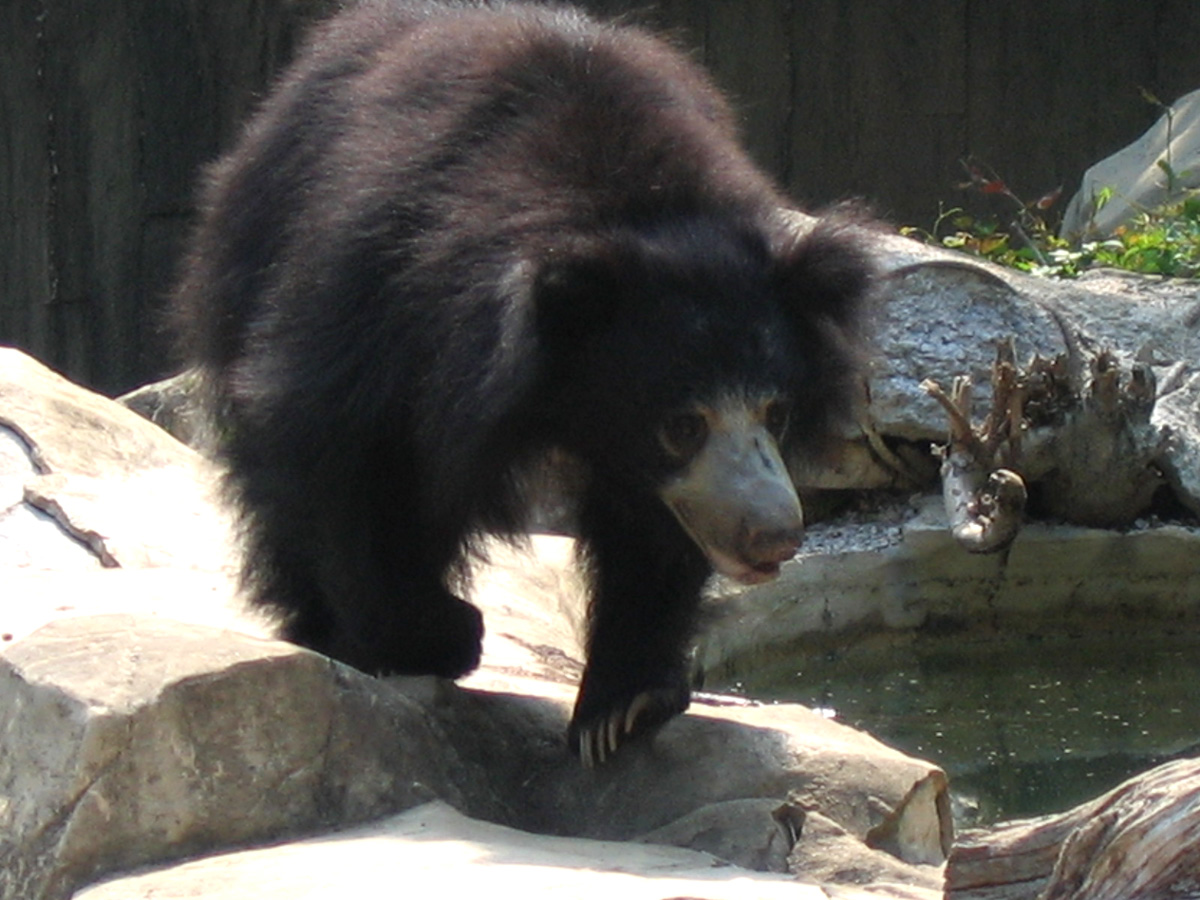 wild animals of sloth bear photo wiki