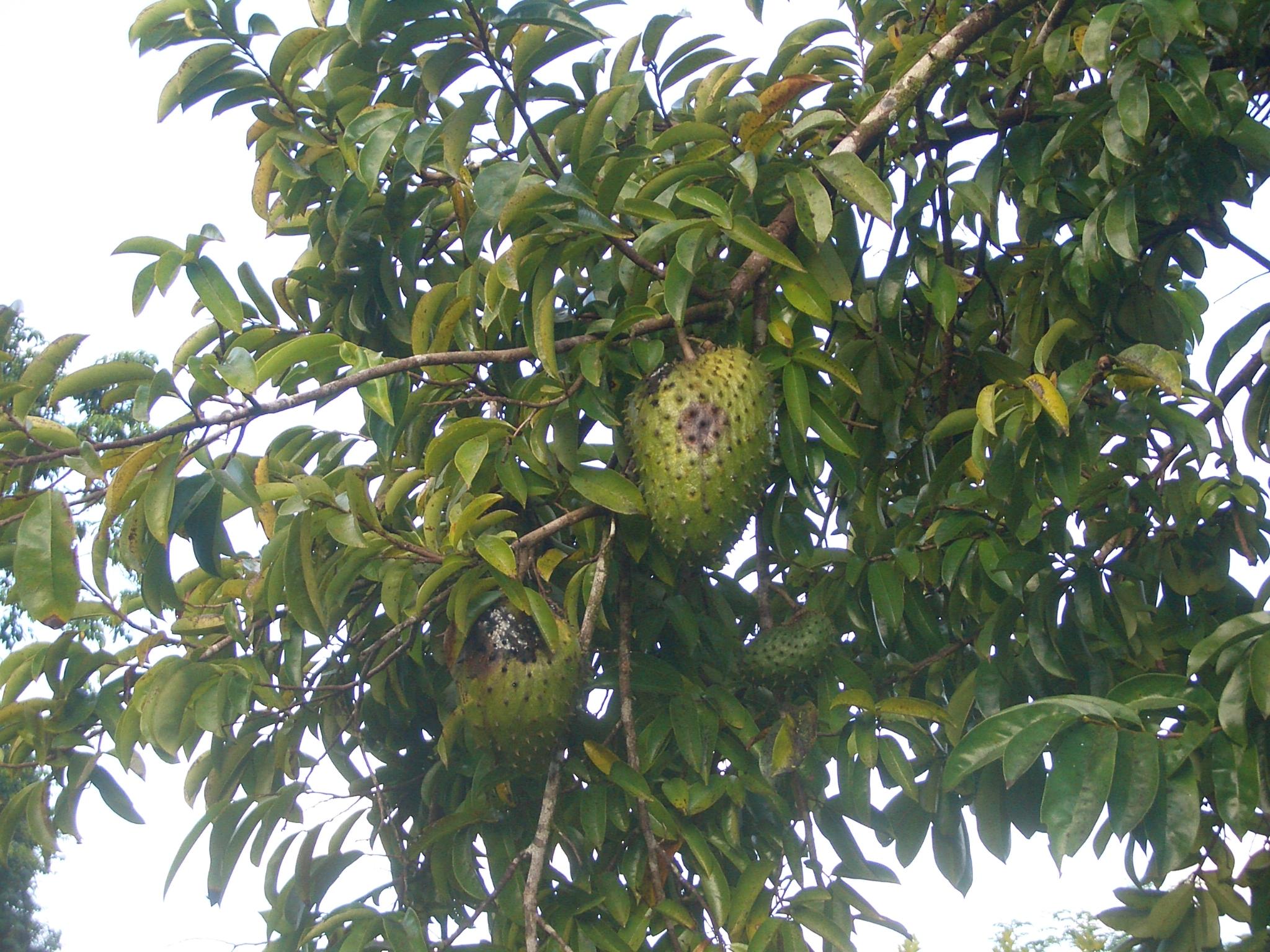Guyabano Fruit Natural Cure of Cancer Cell: Guyabano Fruit ...  |Guyabano Tree