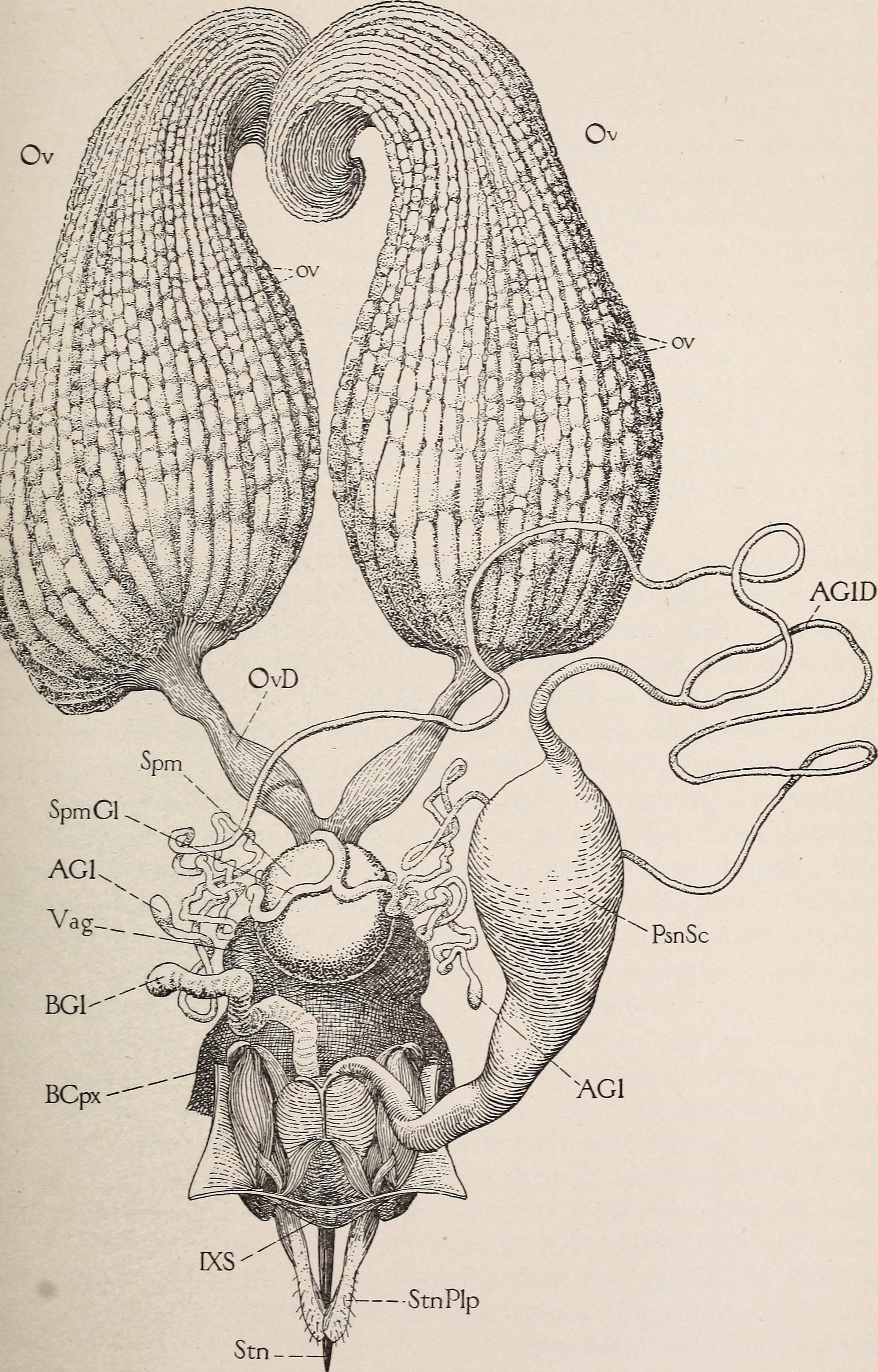 Dateithe Anatomy Of The Honey Bee 1910 18190998122g Wiktionary