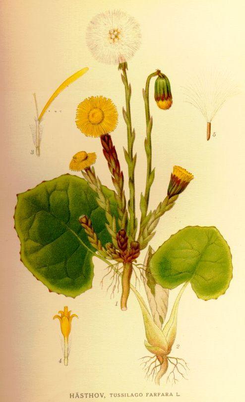 Från Carl Lindman: Bilder ur Nordens Flora, tavla 23 * 1. Mittfiguren: Växtens vårstadium (florala skott) * 2. Sommarstadium (näringsskott) * 3. Enkönad (honlig) kantblomma, förstoring ×6 * 4. Enkönad (hanlig) mittblomma, förstoring×6 * 5. Frukt, förstoring ×5