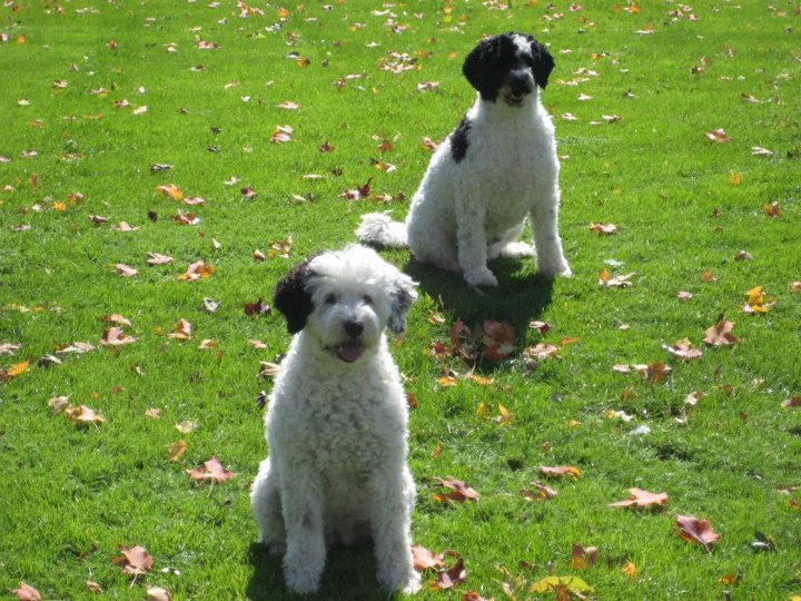 Image Result For Standard Poodle Michigan