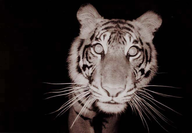 Wild Sumatran tiger.jpg  Face on with wild tiger in Sumatra. This animal didnt like camera traps and destroyed three over a weekend. Photo by Michael Lowe, 2006, Wikimedia Commons