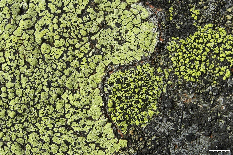file yellow map lichens 5037700041 jpg wikimedia commons