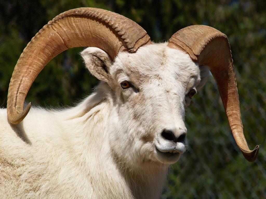 R Goats Carneiro-de-dall – W...