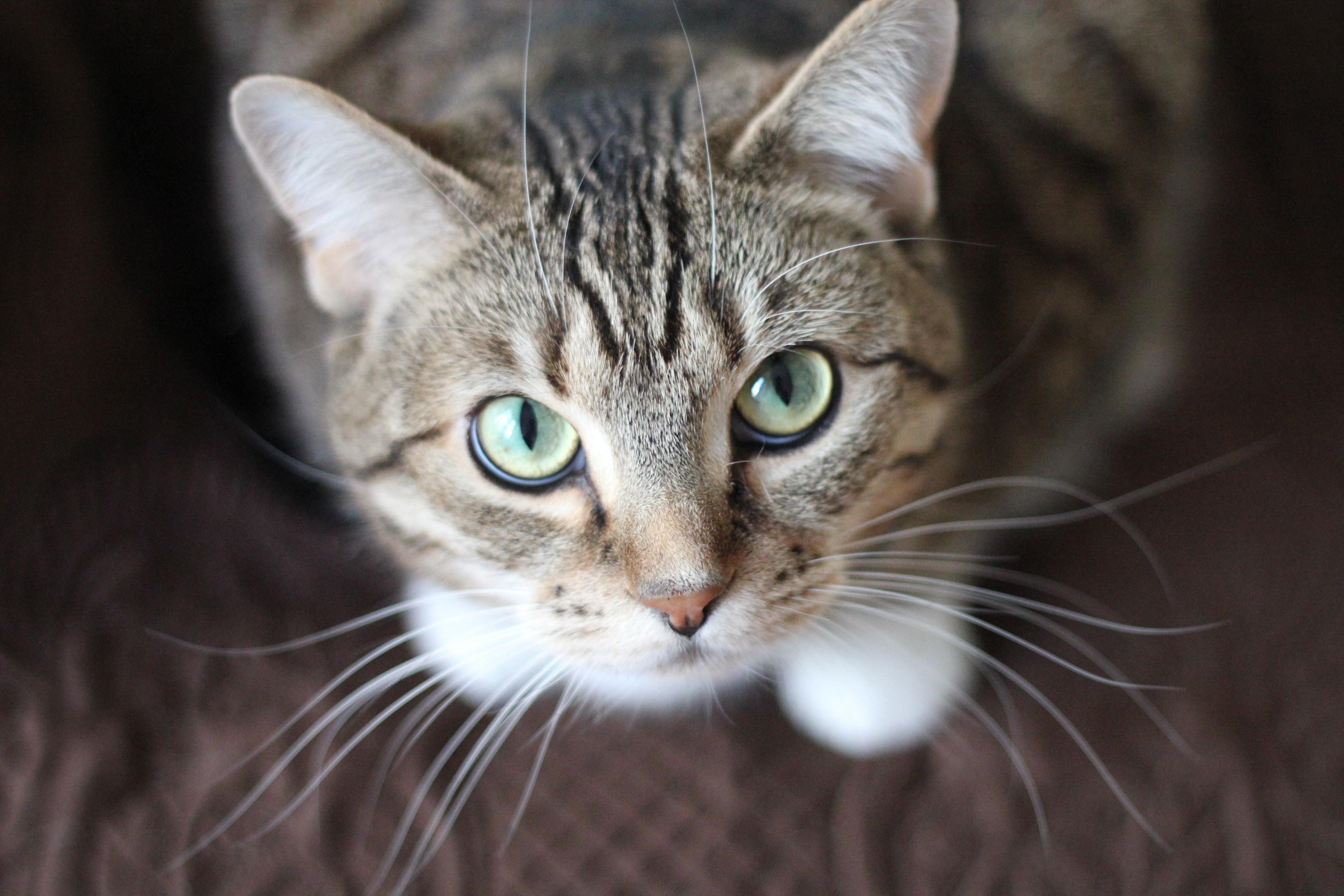 File:Adorable-animal-cat-20787.jpg - Wikipedia