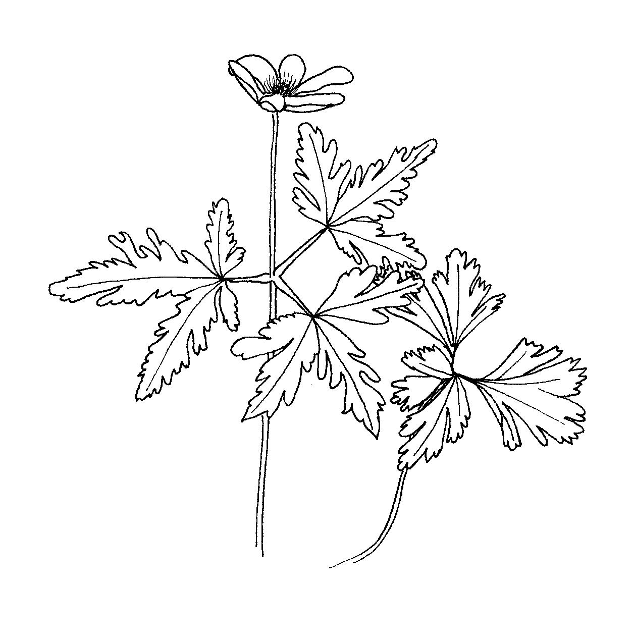 Anemone Flower Line Drawing : File anemone nemorosa ellywa wikimedia commons