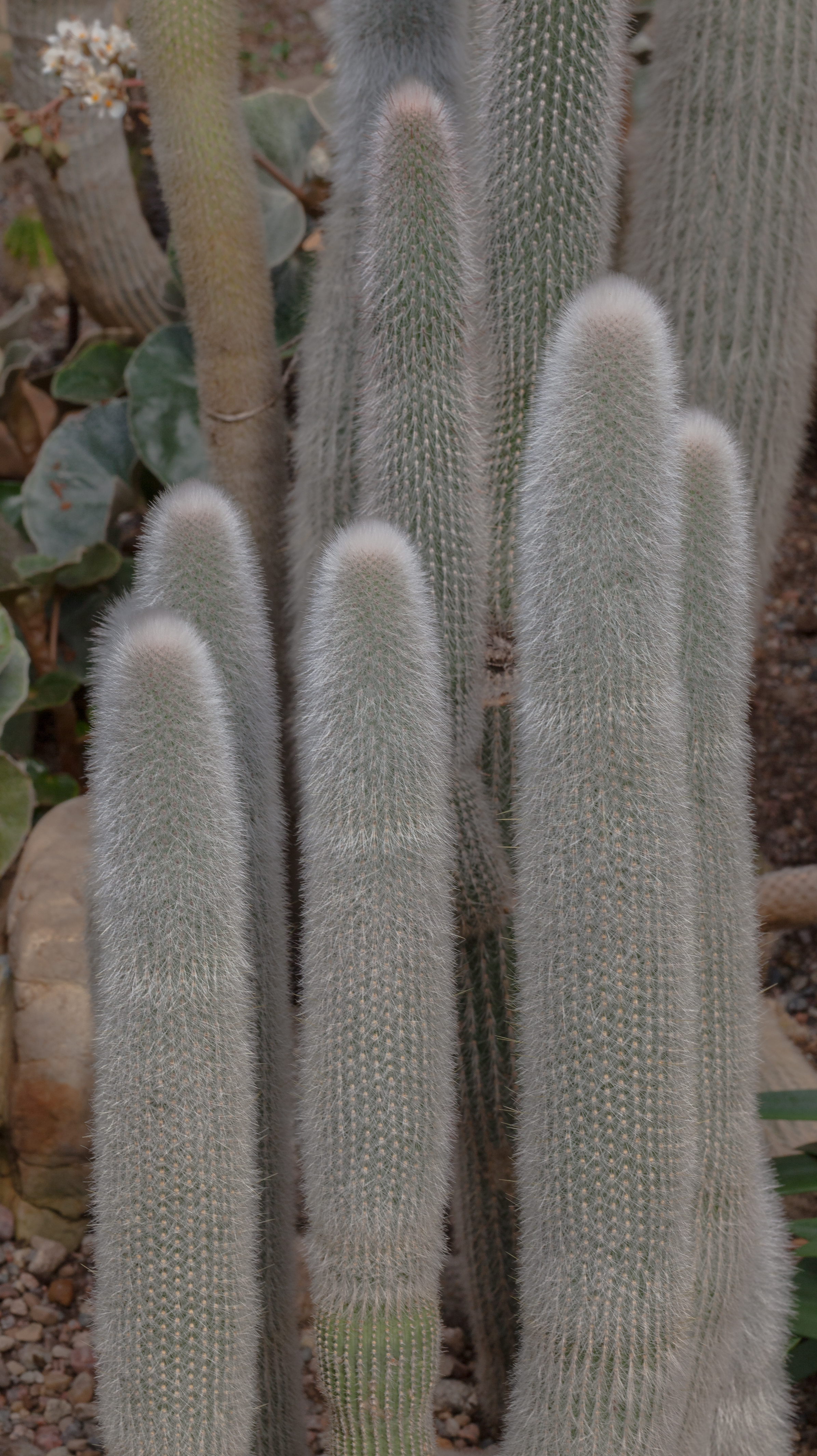 File antorcha plateada cleistocactus strausii jard n for Antorchas para jardin