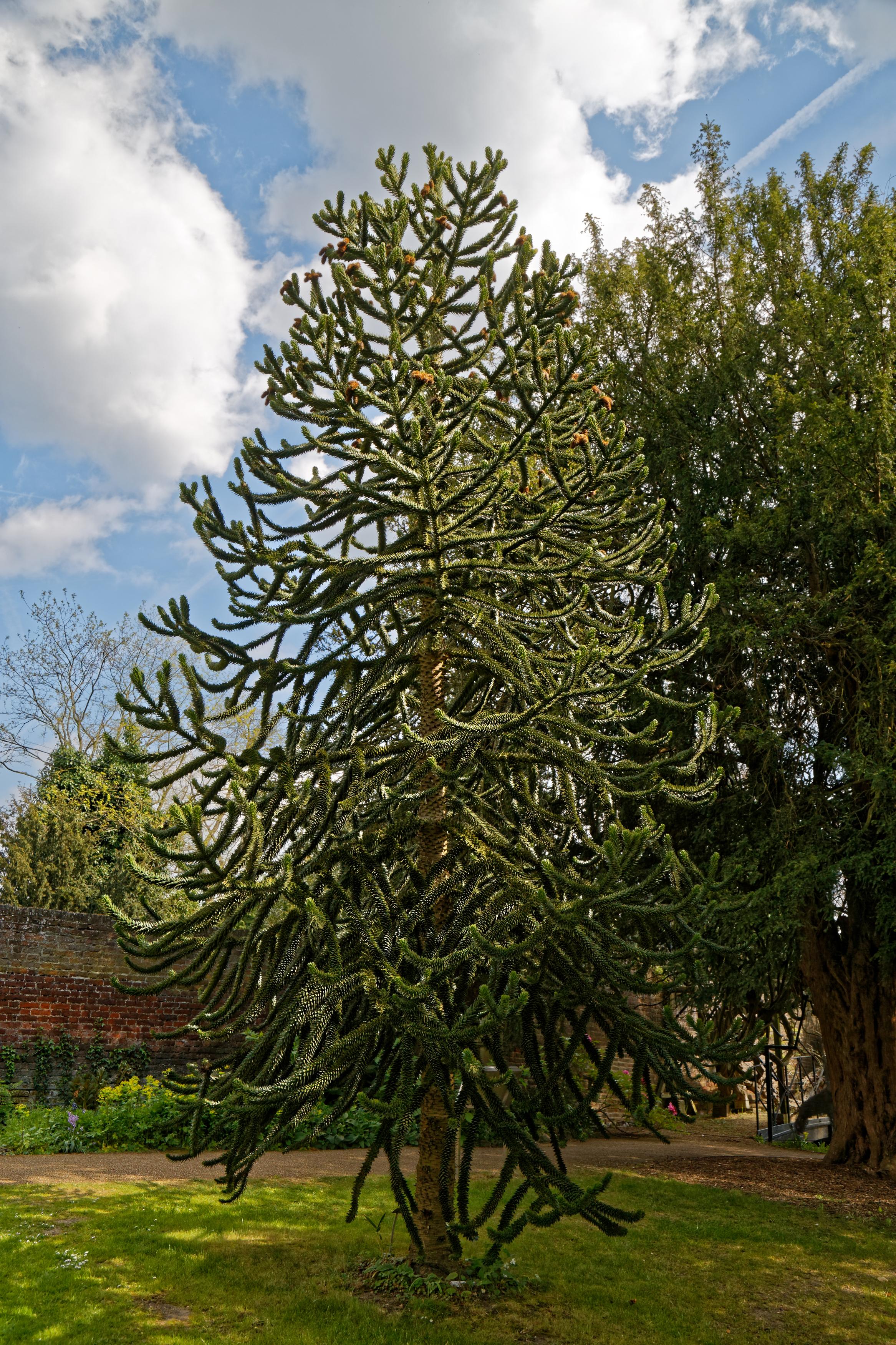 File:Araucaria araucana monkey puzzle tree at Myddelton House garden ...