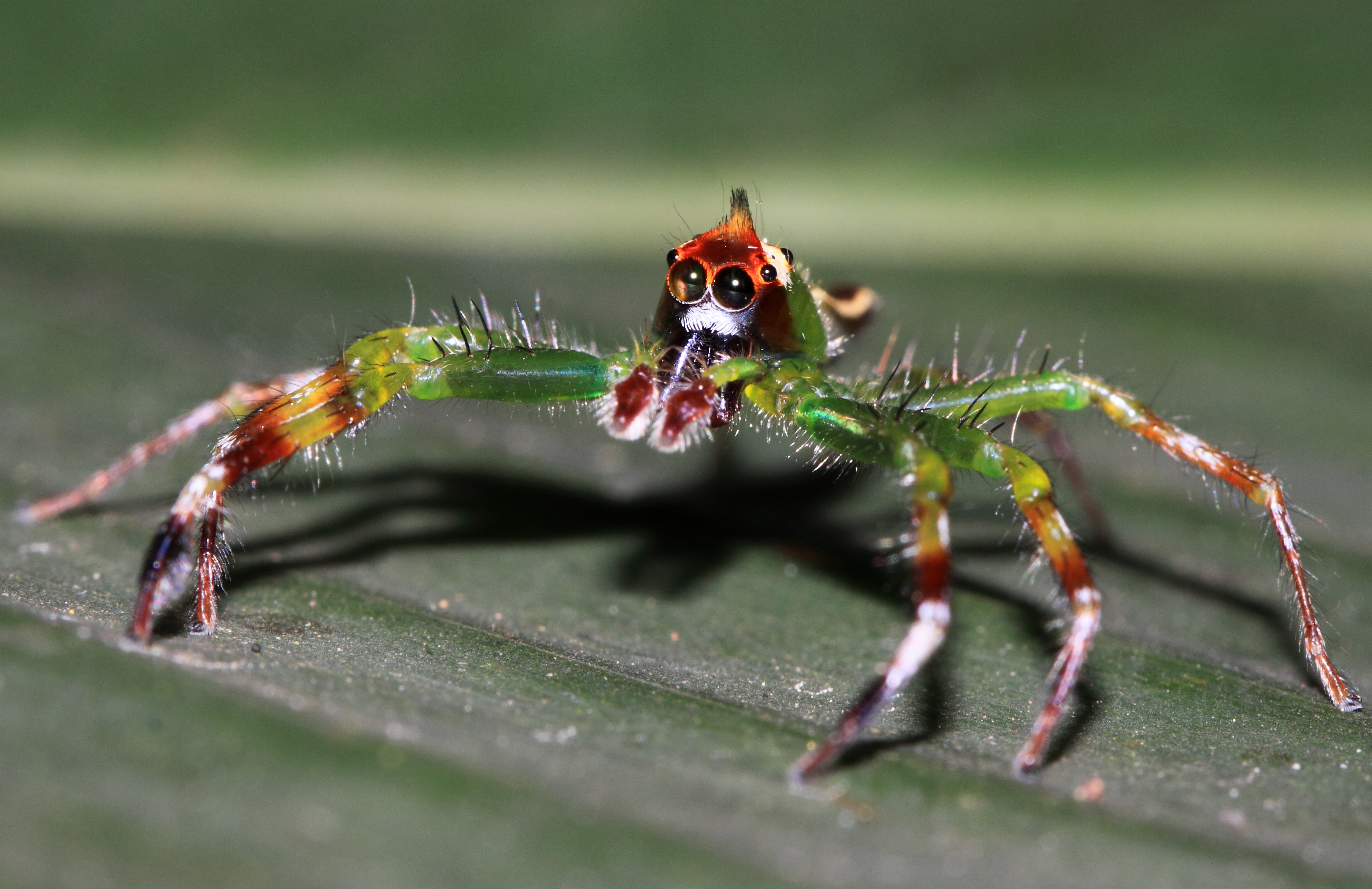 File:Big-eyed jumping spider from W-Java - Yellow-lined Epeus ♂.jpg ...