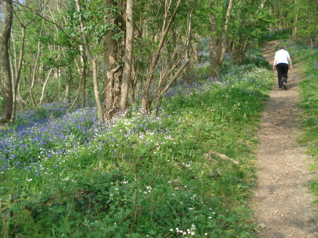 Bluebell woods above Mordiford - geograph.org.uk - 467431
