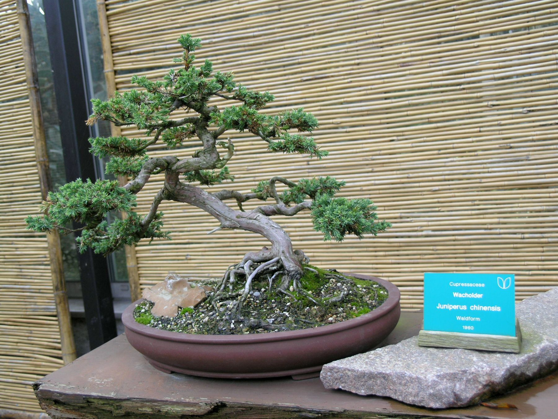 File:Bonsai - juniperus chinensis (1960).jpg